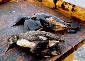 Exxon-Valdez-Dead-Birds